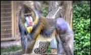 Loài khỉ có đuôi lớn nhất trên thế giới