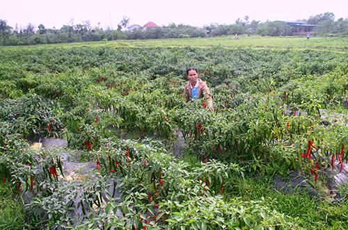 Ruộng ớt cay chín đỏ của người dân xã Cẩm Vịnh. Ảnh: Đức Hùng
