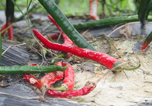 Ớt chín không được thu hoạch bị ruộng dưới gốc. Ảnh: Đức Hùng