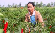 Người trồng ớt nguy cơ trắng tay vì doanh nghiệp hứa suông