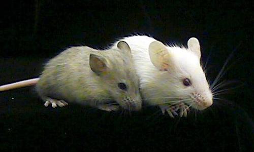 Chuột mang tế bào não người không có dấu hiệu thông minh khác thường. Ảnh: UPI.
