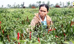 Người trồng ớt nguy cơ trắng tay vì doanh nghiệp không thu mua