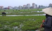 Nhiều nông dân Thanh Hóa phải đóng phí đồng cỏ khi chăn thả trâu bò
