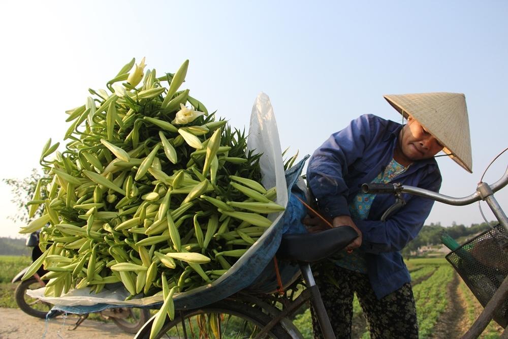 Người dân Huế thu hàng chục triệu đồng mỗi vụ hoa loa kèn