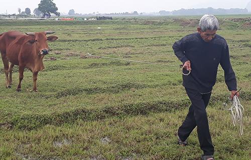 Nông dân ở xã Thiệu Dương muốn thả trâu bò ra đồng phải đóng phí đồng cỏ thế chấp. Ảnh: Lam Sơn.