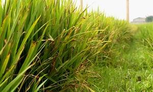 Hơn 3.000 ha lúa ở Quảng Bình bị bệnh vàng lá