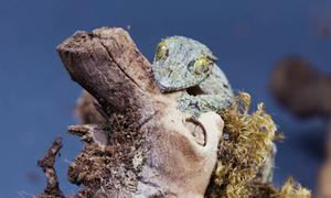 Loài tắc kè có khả năng phân tán bóng để ngụy trang