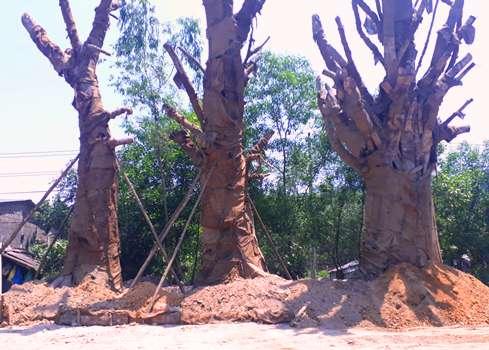 Ba cây đa sộp được trồng tạm tại bãi đất trông trên đường tránh Huế. Ảnh: Vạn An.