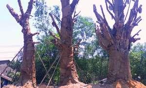 Ba cây đa quá khổ, quá tải được trồng tạm ở Huế
