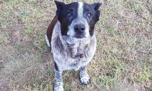 Max, con chó 17 tuổi của gia đình Aurora. Ảnh: Cảnh sát Queensland.