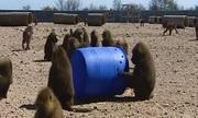 Khỉ đầu chó dùng thùng phuy tẩu thoát khỏi trại nghiên cứu