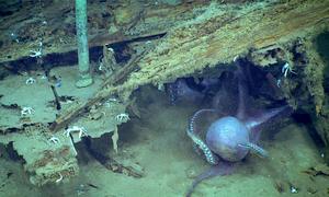 Đôi bạch tuộc kịch chiến dưới đáy biển sâu