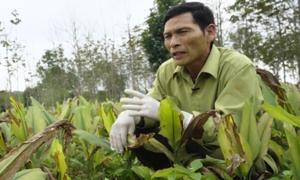 Trồng nghệ tiết kiệm nước trên đất cát Quảng Bình