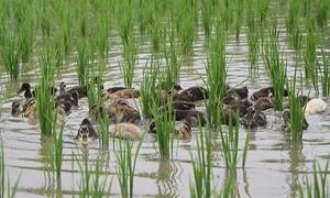 Nông dân Nhật thả vịt thay thuốc trừ sâu trên đồng lúa