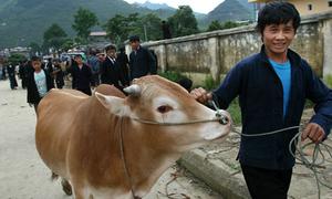 Hà Giang bảo tồn giống bò vàng bản địa