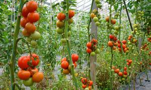 Vườm ươm rải sỏi cho cà chua tránh nắng ở Quảng Bình