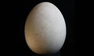 Quả trứng còn nguyên vẹn của loài chim nặng nửa tấn