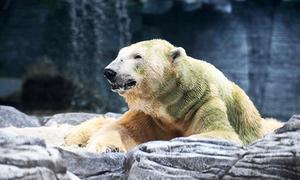 Gấu Bắc Cực đầu tiên sinh ra ở vùng nhiệt đới qua đời