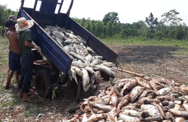Hàng chục tấn cá chết trắng hồ thủy lợi do thiếu oxy