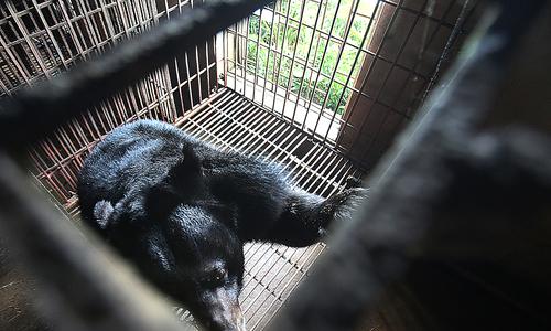Giải cứu hai cá thể gấu nuôi nhốt cuối cùng tại Ninh Bình