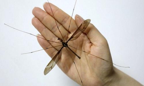 Con muỗi có sải cánh dài hơn 11 cm. Ảnh: SCMP.