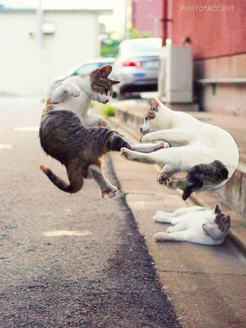 Võ lâm cao thủ mèo.