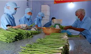 Nông dân Ninh Hải làm giàu từ măng tây xanh