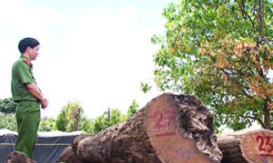 Phát hiện nhiều cây gỗ lớn bị đốn hạ ở vườn quốc gia Yok Đôn