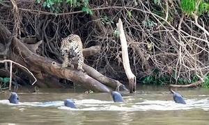 Báo đốm đói mồi bị rái cá đuổi khỏi khúc sông
