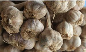 Kinh Môn thí điểm trồng tỏi hữu cơ xuất sang Nhật Bản