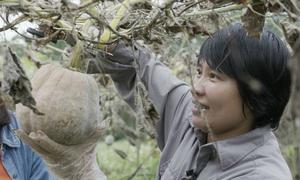 Nông dân Huế trồng bí đỏ leo giàn tránh ngập mưa