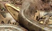 Trăn anaconda săn cá sấu trên sông Brazil