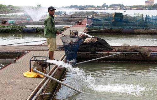 Cá nuôi trên sông Thái Bình chết nổi trắng bè