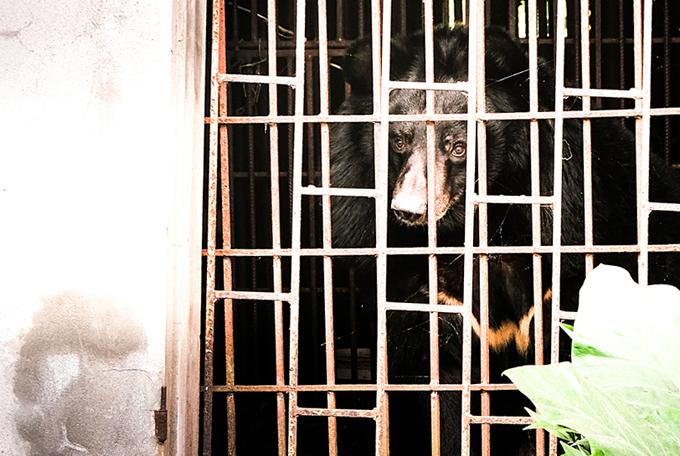 Gấu 'Hai Chân' được giải cứu