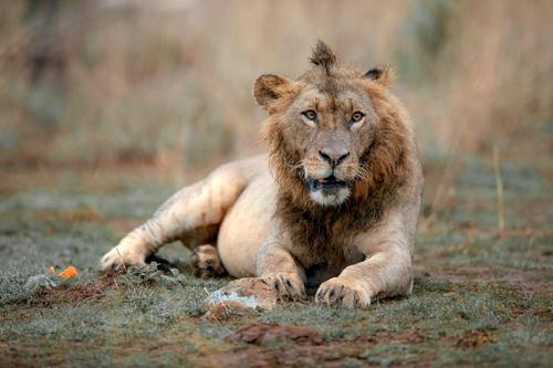 Sư tử có kiểu tóc ăn chơi nhất thế giới động vật.