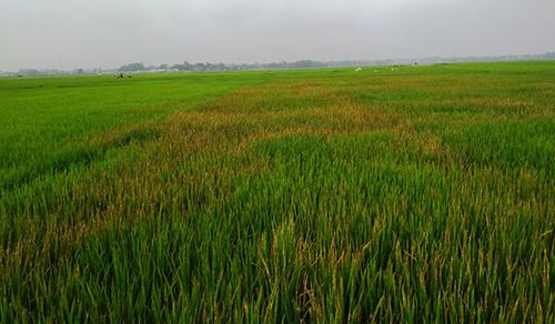 Lão nông phá ruộng lúa của người tình vì tiếc chiếc ví bị mất