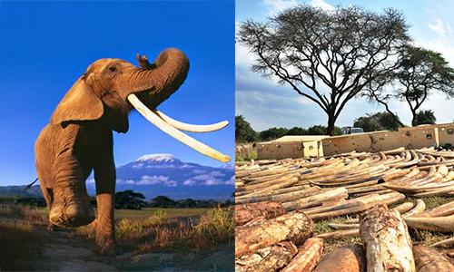 Voi châu Phi đang bị đe dọa do nạn săn bắn trái phép. Ảnh:CITES.