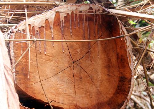 Một cây gỗ lim đường kính hơn 1m ở rừng phòng hộ Nam Sông Bung bị lâm tặc đốn hạ. Ảnh: Đắc Thành.