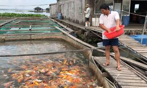 Nuôi 4.000 cá chép Nhật giữa sông Hậu để khách tham quan