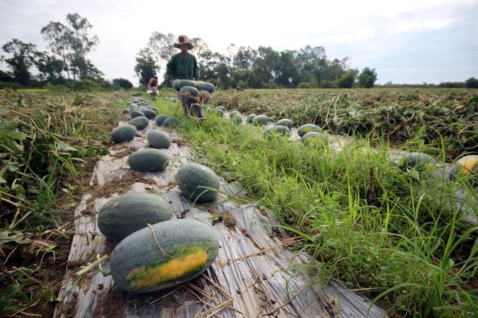 Cả nghìn tấn dưa hấu chín ứ đọng ngoài đồng ở Quảng Nam