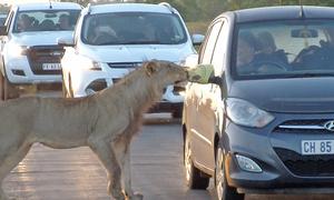 Sư tử đực chặn đường, cắn cửa xe
