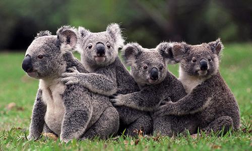 Gấu túi là biểu tượng quốc gia của Australia. Ảnh:Buzzfeed.