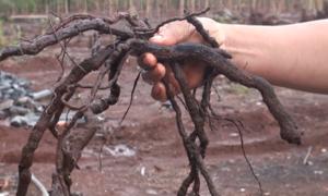 Nhiều thương lái thu mua rễ cây tiêu bán sang Trung Quốc