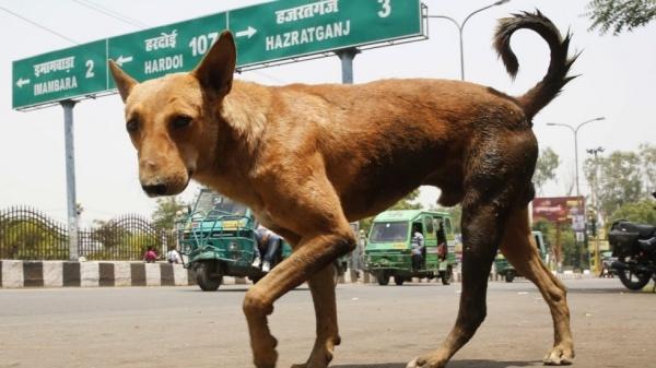 Một con chó hoang tại Lucknow, thủ phủ bang Uttar Pradesh, miền bắc Ấn Độ. Ảnh: AP.