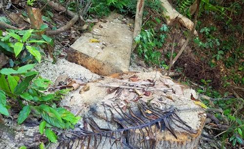 Một số cây cổ thụ nằm ở lưng chừng đồi A Bia bị đốn hạ. Ảnh: Võ Thạnh