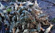 Gần 60.000 tôm hùm nuôi trên vịnh Cam Ranh bị chết