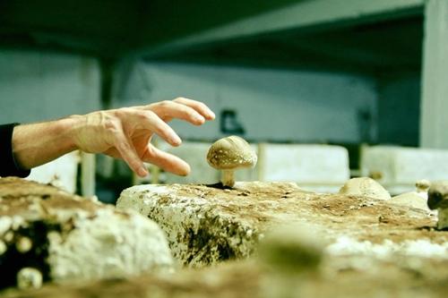 Nấm không cần nhiều ánh sáng để sinh trưởng vì vậy chúng thích ứng được với môi trường trồng trọt dưới tầng hầm.