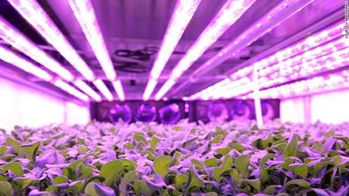 Thay vì ánh mặt trời, rau của Aero Farms phát triển dưới ánh đèn LED. Ảnh: CNN