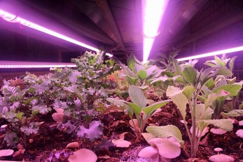 Rau sinh trưởng dưới dánh đèn LED.