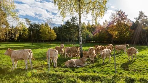 Những chú bò được sống thoái mãi giữa cánh rừng và đồng cỏ rộng lớn.